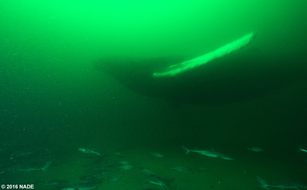 A humpback whale on the wreck of the Patriot.